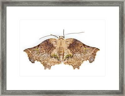 Moth Braulio Carrillo Np Costa Rica Framed Print by Piotr Naskrecki