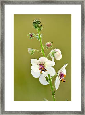 Framed Print featuring the photograph Moth Mullein by JD Grimes