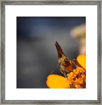 Framed Print featuring the photograph Moth On A Zinnia Blossom by Ronda Broatch