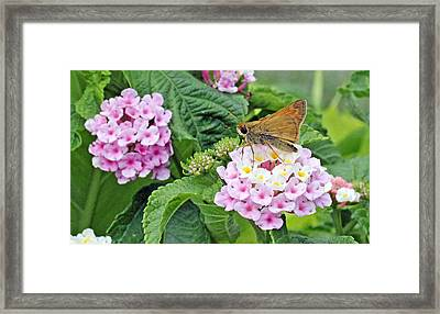 Moth On Lantana Framed Print by Becky Lodes