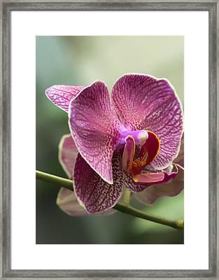 Moth Orchid Curvation Framed Print