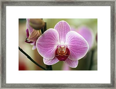 Moth Orchid (phalaenopsis Sp.) Framed Print by Dr Keith Wheeler