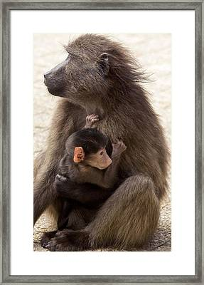 Mother And Baby Chacma Baboon Framed Print by Bob Gibbons