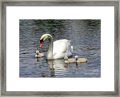 Mother And Baby Swans Out For A Sunday Stroll Framed Print
