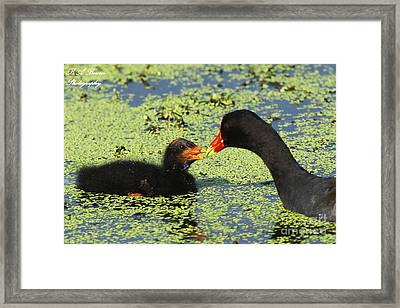 Mother Common Gallinule Feeding Baby Chick Framed Print