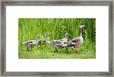 Mother Goose Leading Goslings Framed Print