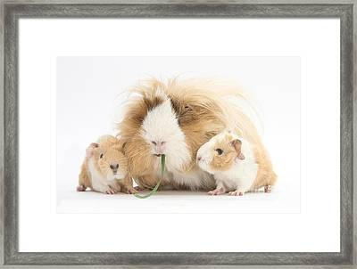 Mother Guinea Pig And Baby Guinea Framed Print by Mark Taylor