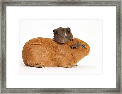 Mother Guinea Pig With Baby Guinea Pig Framed Print by Mark Taylor