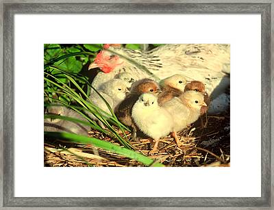 Mother Hen And Young Framed Print