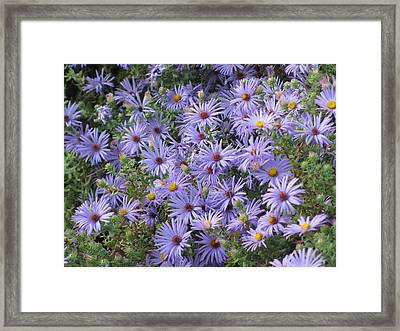 Framed Print featuring the photograph Mother's Asters by Shawn Hughes