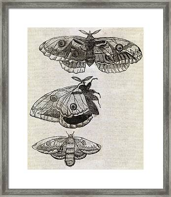 Moths, 17th Century Artwork Framed Print
