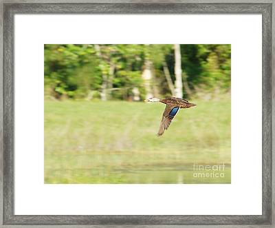 Mottled Duck Flying Framed Print