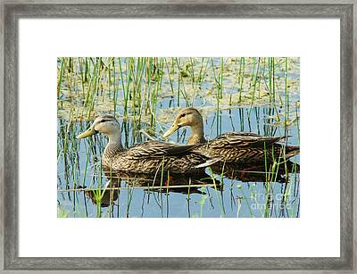 Mottled Duck Pair Framed Print by Lynda Dawson-Youngclaus