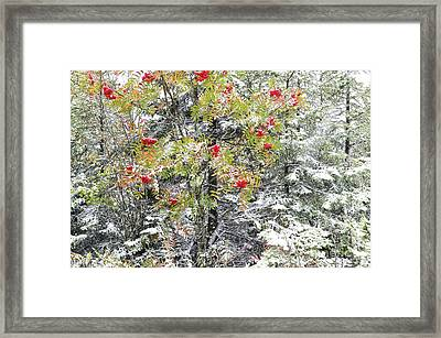 Mountain Ash And Snow  Framed Print