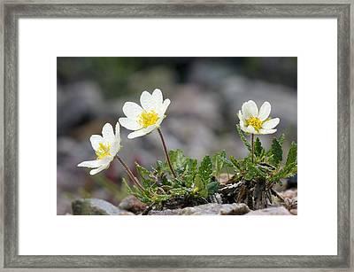 Mountain Avens (dryas Octopetala) Framed Print
