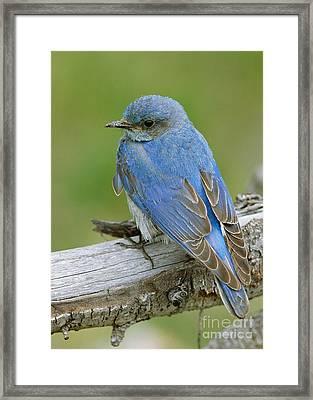 Mountain Bluebird Framed Print by Doug Herr
