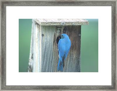 Mountain Bluebird Feeding Young Framed Print