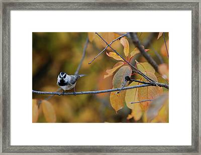 Mountain Chickadee 1 Framed Print