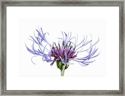 Mountain Cornflower (centaurea Montana) Against White Background Framed Print by Frank Krahmer