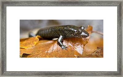 Mountain Dusky Salamander Framed Print by Dustin K Ryan
