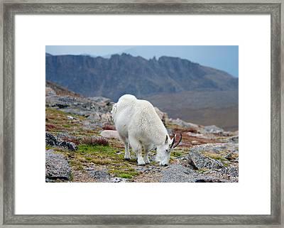 Mountain Goat Grazing Framed Print by Stephen  Johnson