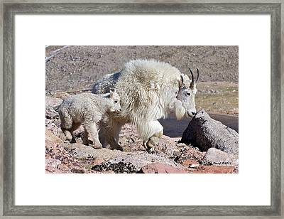 Mountain Goat Momma With Kid Framed Print by Stephen  Johnson