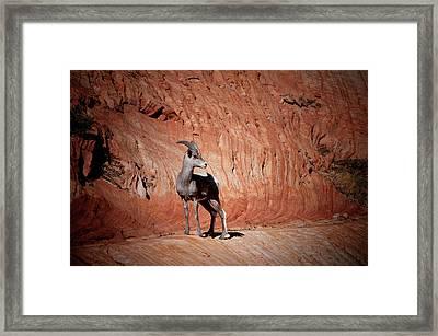Mountain Goat Zion National Park Framed Print