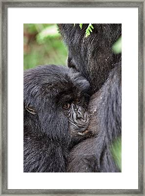 Mountain Gorilla Infant Feeding Framed Print by Tony Camacho