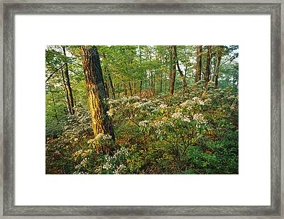 Mountain Laurel Blooming In A Hyner Framed Print by Skip Brown