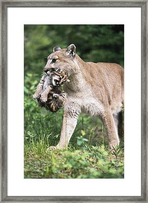 Mountain Lion Carrying Cub By The Nape Framed Print by David Ponton