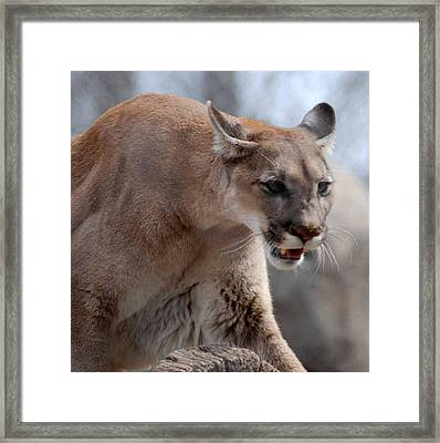Mountain Lion Framed Print by Paul Ward
