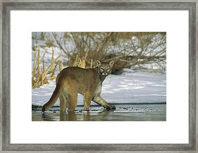 Mountain Lion Puma Concolor In Frozen Framed Print