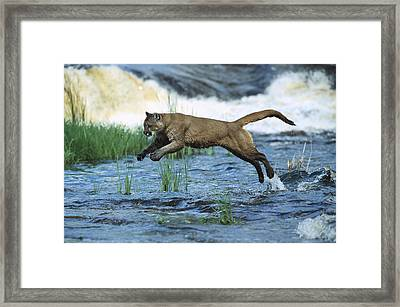 Mountain Lion Puma Concolor Leaping Framed Print