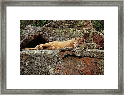Mountain Lion Puma Concolor Lounging Framed Print