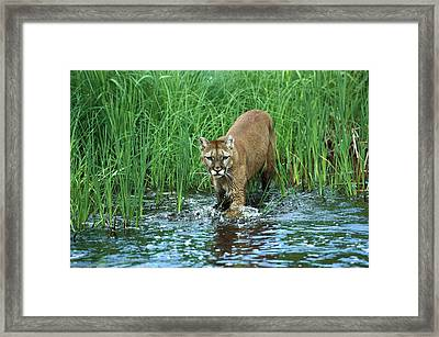 Mountain Lion Puma Concolor Wading Framed Print by Konrad Wothe