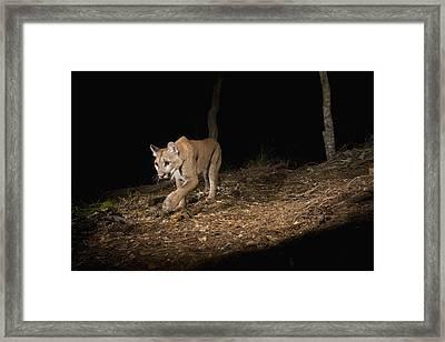 Mountain Lion Wild Juvenile At Night Framed Print