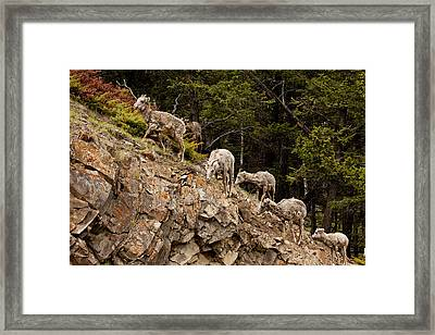Mountain Sheep 1668 Framed Print by Larry Roberson