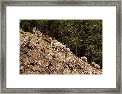 Mountain Sheep 1670 Framed Print by Larry Roberson