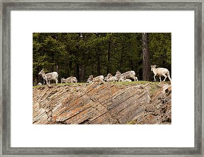 Mountain Sheep 1673 Framed Print by Larry Roberson