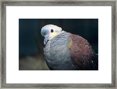 Mountain Witch Dove Framed Print by David Aubrey