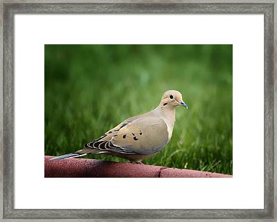 Mourning Dove Framed Print by Bill Tiepelman