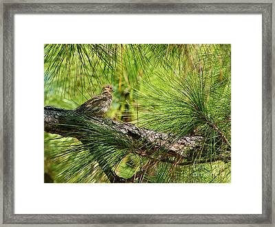 Mourning Dove In Pine Framed Print