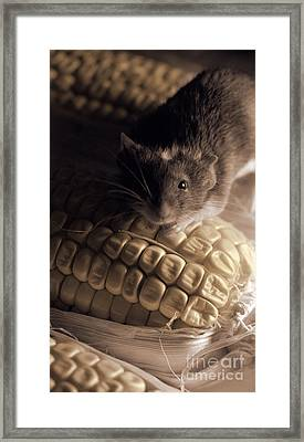 Mouse And Field Corn Framed Print