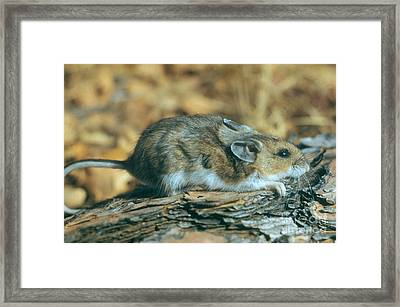 Mouse On A Log Framed Print by Photo Researchers, Inc.