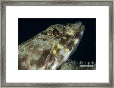 Mouth Of A Variegated Lizardfish, Papua Framed Print by Steve Jones