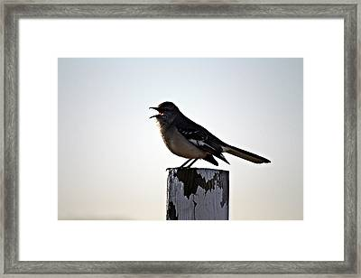 Mouthy Mockingbird Framed Print by KayeCee Spain