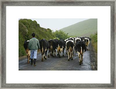 Moving The Herd Framed Print by Gaspar Avila