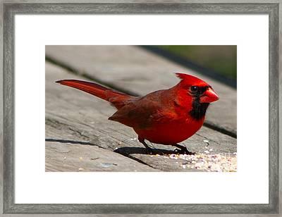 Mr. Cardinal Framed Print