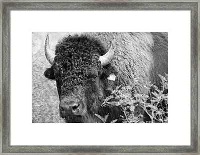 Mr Goodnight's Bison Framed Print by Melany Sarafis