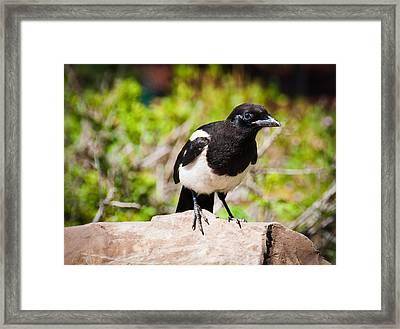 Mr. Magpie Framed Print by Cheryl Baxter